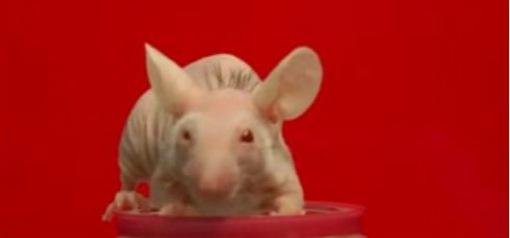 幹細胞移植で発毛したマウス